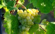Les viticulteurs en manque de saisonniers